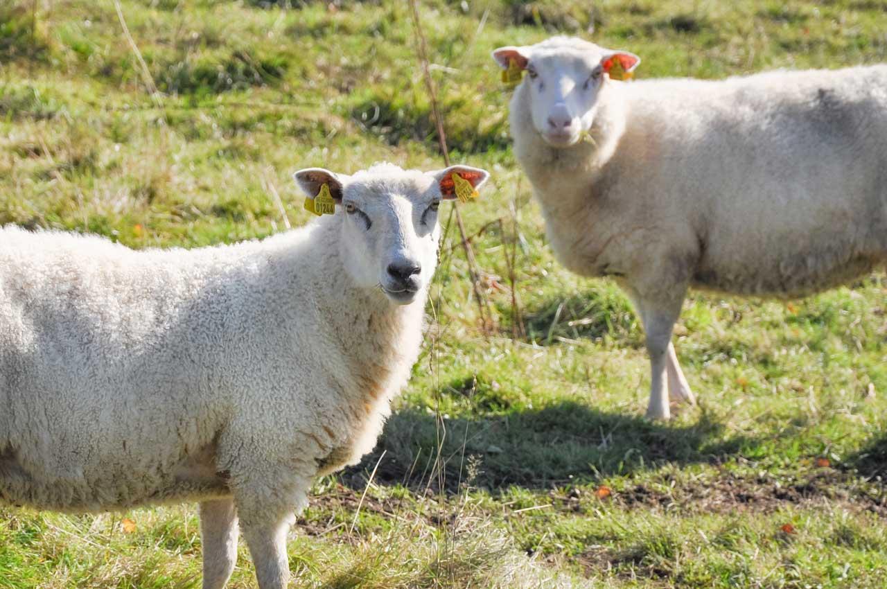 Les agneaux quant à eux sont élevés traditionnellement à la ferme, nourris au lait maternel et à l'herbe des pâturages.