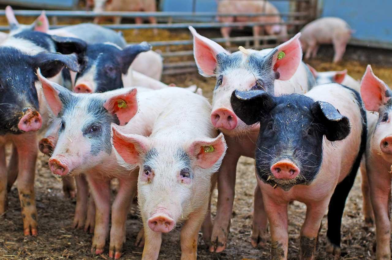 Porcs qui grandissent en semi-liberté afin de vous offrir une chair ferme, tendre et goûteuse.