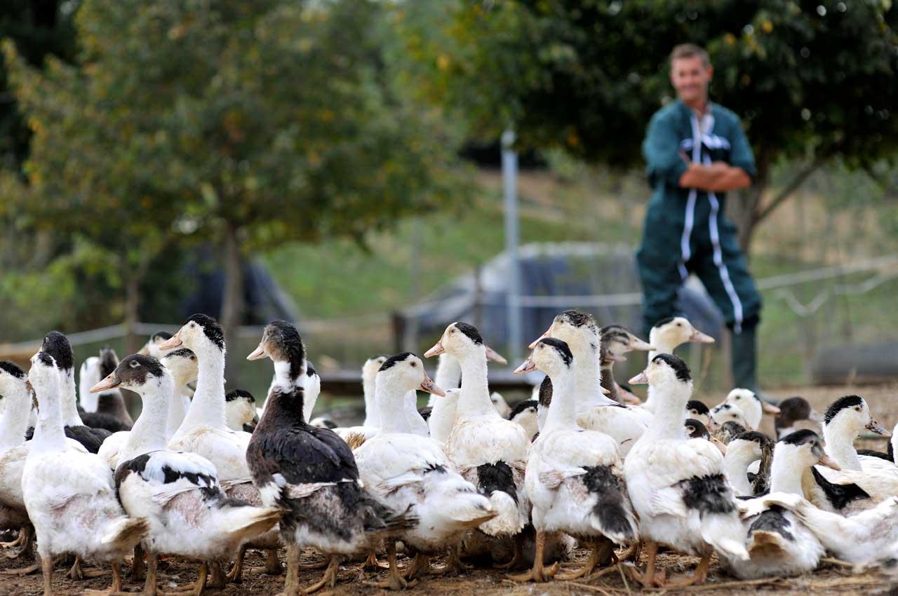 Les volailles fermières grandissent en semi-liberté afin de vous offrir une chair ferme, tendre et goûteuse.